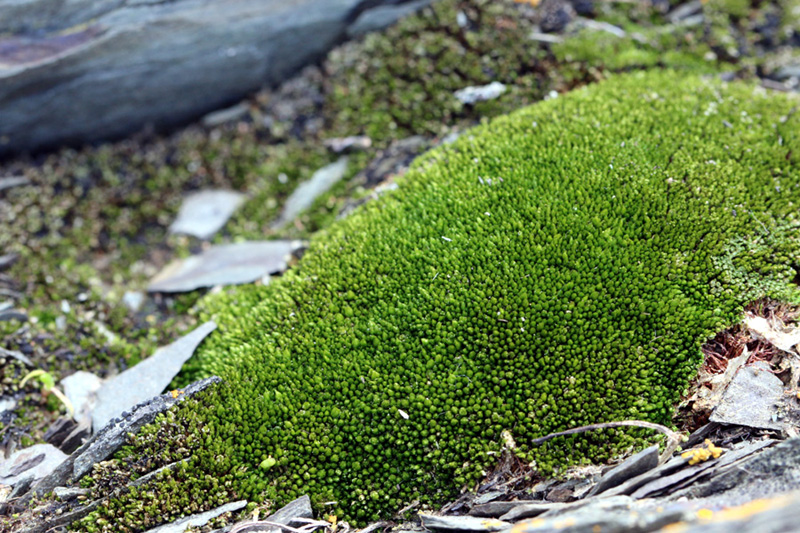 Bryum knowltonii
